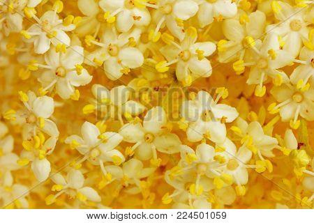 flowers blooming elderberry wood, close-up macro photo