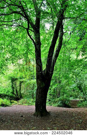Beech Tree in a Green Woodland Canopy