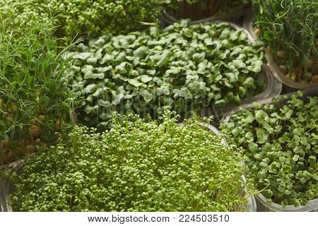 Assortment of micro greens. Growing kale, alfalfa, sunflower, arugula, mustard sprouts. Healthy lifestyle, stay young and modern restaurant cuisine concept