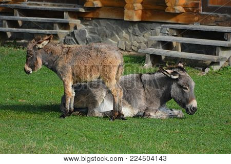 Donkey And  Jenny-ass Are Basking In The Sun On A Green Lawn.