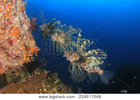 Lionfish fish on reef