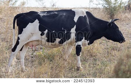 cow in a pasture in nature . In the park in nature
