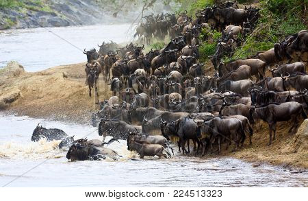 A herd of wildebeest (Connochaetes taurinus) crosses a river in Masai Mara National Reserve during their migration of the Mara-Serengeti ecosystem.