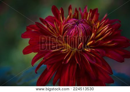 Beautiful saturated isolated red and yellow Domingo Chrysanthemum in a garden.