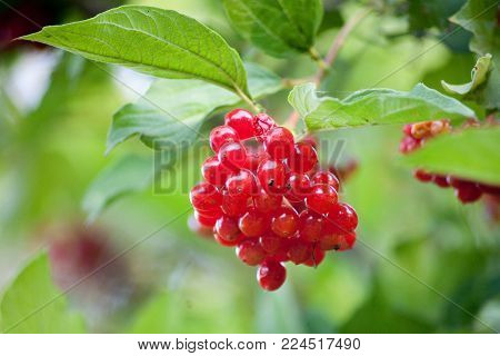 red berry ashberry on a tree in a summer garden autumn, background