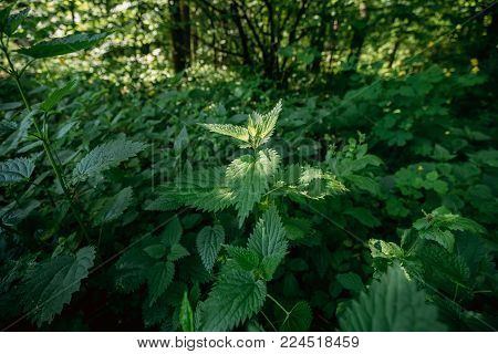 Twigs Of Wild Plant Nettle Or Stinging Nettle Or Urtica Dioica In Spring Season. Green Herbal Plant