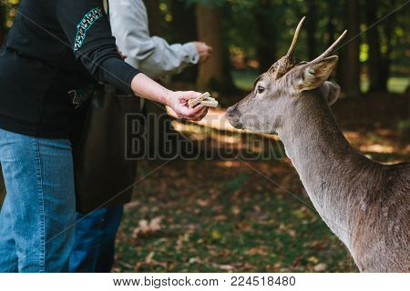 Caring for animals. People feed the deer in the forest.