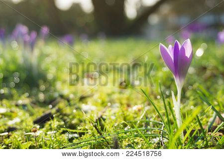 Close-up of blooming Crocus Flower on a green Meadow. View on a purple Crocus Flower in Spring. Flowering Springt Flowers. Nature and Flower Background.