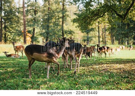 A group of young deer walks through a warm green sunny meadow in a forest next to the trees.