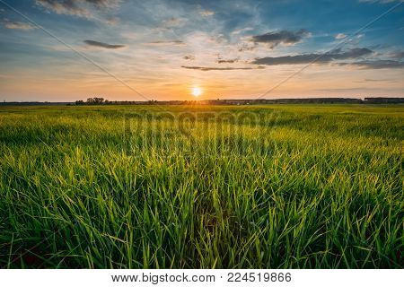 Spring Sun Shining Over Agricultural Landscape Of Green Wheat Field. Scenic Summer Colorful Dramatic Sky In Sunset Dawn Sunrise. Skyline.