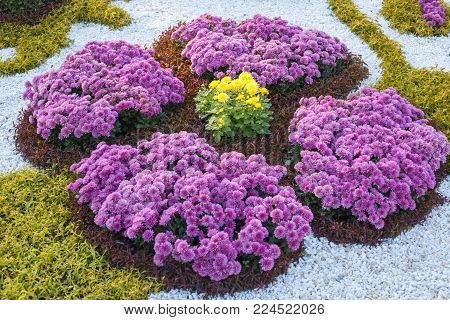 Composition of the bushes of purple and yellow chrysanthemums. Parkland in Kiev, Ukraine