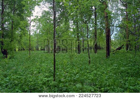 Deciduous grove with a rich undergrowth in early summer