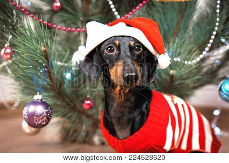 portrait  small cute funny  dog dachshund, black and  tan, in a red sweater and santa claus hat on background Christmas tree