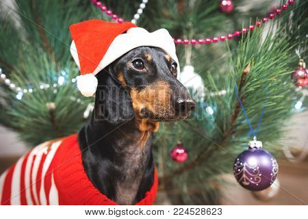 Cute dog dachshund, black and  tan, in a red sweater and santa claus hat on background Christmas tree