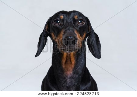 Portrait of an adorable short haired Dachshund, black and tan, studio shot, isolated on gray.