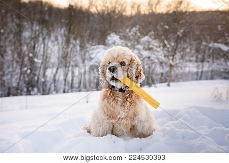 American cocker spaniel against background of a snowy forest. Dog sits in a snowdrift with a yellow with stick in mouth.