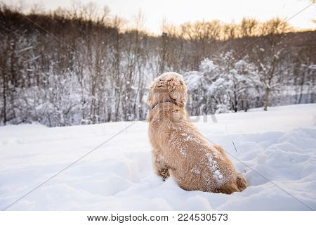American cocker spaniel against background of a snowy forest. A dog sits with his back in a snowdrift dog.