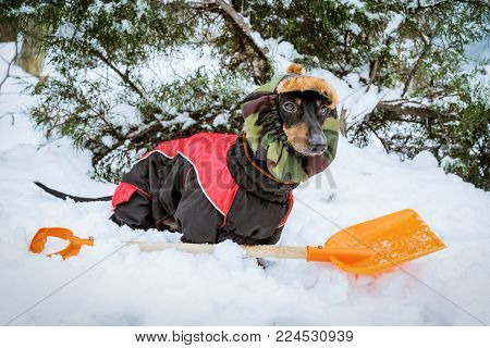 cute dog dachshund, black and tan, wearing clothes (sweater) and a hat with an orange shovel for snow cleaning, stands in a snowdrift in the winter on the street