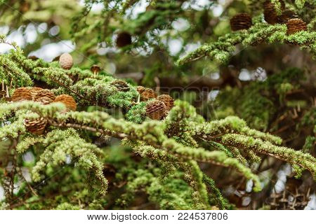 brown bumps on green spruce branch, natural background