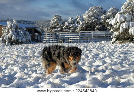 Australian Shepherd And Cold Nose