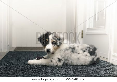 Hi-key photo of Australian Shepherd puppy on carpet in foyer with a sock between in his mouth looking guilty.