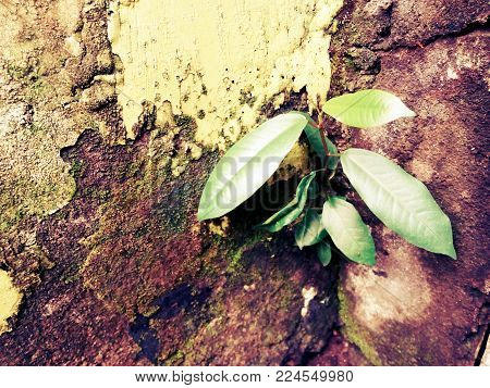 the banyan tree grows in a cracked and mossy wall