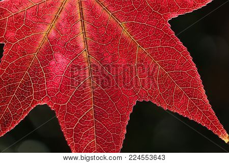 Close-up of one beautiful red sweetgum or liquidamber tree leaf, it's veins visible, on a black background. Leaf fills three-fourths of frame.