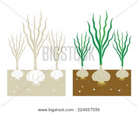 isolated garlic plant with tubers vector illustration