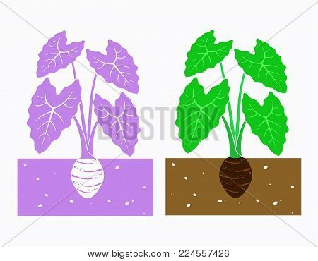 isolated taro plant with tubers vector illustration