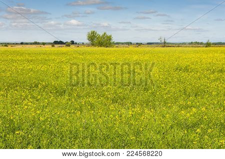 Rapeseed fields in the plain of the River Esla, in Leon Province, Spain