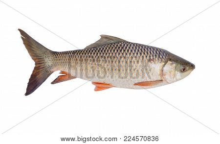 freshwater fish isolated on white background, File contains a clipping path. (Probarbus jullieni)