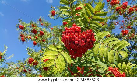 Branches of mountain ash or rowan with bright red berries against a clear blue sky