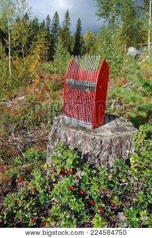 Collecting Wild growing lingon berries in Swedish nature