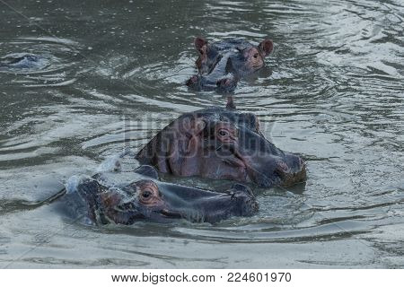 hippos submerged in a pool in the Maasai Mara, Kenya