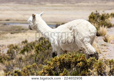 Alpaca in Andes Mountains, Peru, South America