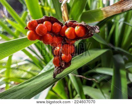 Orange Iris Foetidissima / Stinking Iris Berries in Summer