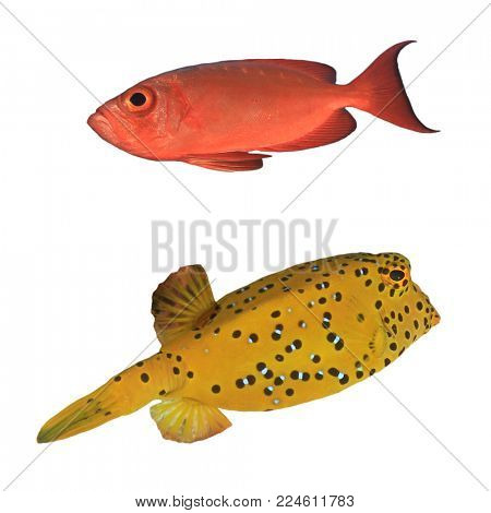 Tropical reef fish isolated on white. Crescent tailed Bigeye and Yellow Boxfish