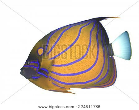 Tropical reef fish isolated on white. Blue-ringed Angelfish c
