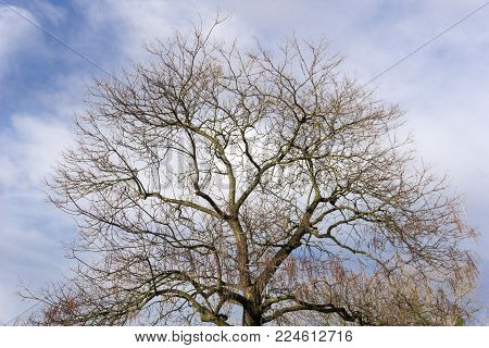 Close-up of an old blooming bare Tree in front of a blue cloudy Sky. View to a beautiful big blooming bare Tree on a cloudy Day in Spring. Blooming Trees and Plants. Nature and Season Backgrounds.