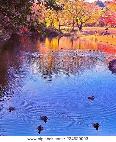 Japanese garden pond in autumn with hungry ducks racing forwards. Shades of blue with bright tree reflections in the pond, hungry and soon to be unfortunately disappointed ducks rushing forwards, in a Tokyo park.