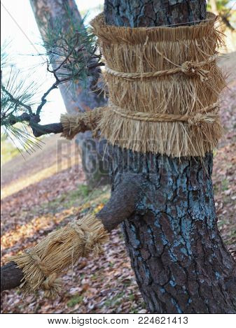 Japanese pine with it's traditional straw belt. Japanese black pine (Pinus Thunbergii) have straw belts in Tokyo for winter, to protect against pine month (Dendrolimus Spectabilis) larvae, and bestow a sense of season. This one needs hugs...