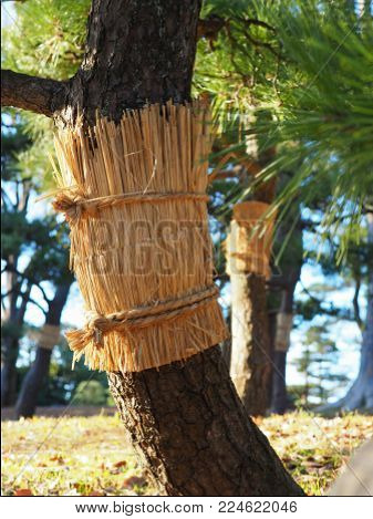 Japanese pine with it's traditional straw belt. Japanese black pine (Pinus Thunbergii) have straw belts in Tokyo for winter, to protect against pine month (Dendrolimus Spectabilis) larvae and bestow a sense of season.