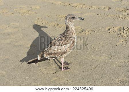 Pretty gray seagull walking around the sandy beach