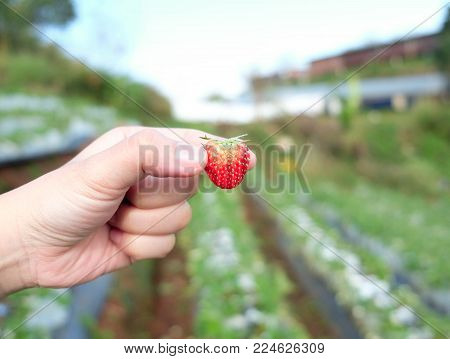 Strawberry on hand in the strawberry farm, strawberry farm in Thailand.