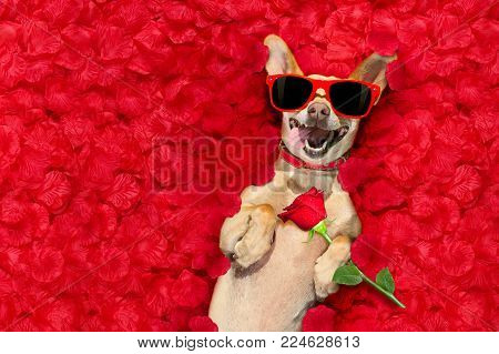 Podenco Dog Resting In  A Bed Of Rose Petals For Valentines Day Happy With Funny Red Sunglasses And