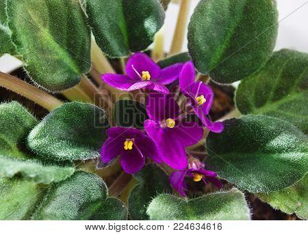 Potted African Violet (Saintpaulia) top view, houseplants.