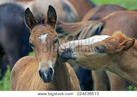 closeup of funny faces of two young brown horses kiss each other, a couple in love horses, two young brown horses grazing in a meadow
