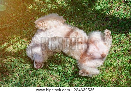 White poodle dog playing on green grass. Laying upside down poodle