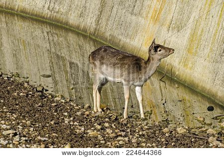 Female Roe Deer, hind or Capreolus capreolus walk in a park, Sofia, Bulgaria