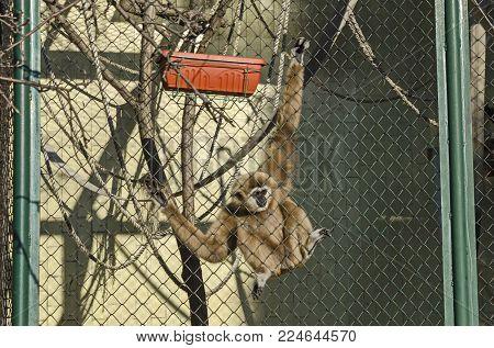 Black howler monkey, Alouatta caraya, dangle in fense close up, Sofia, Bulgaria
